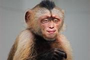 PS换脸术之蒙版给猴子换张人脸